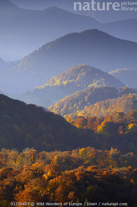 Forest covered hills, Piatra Craiului National Park, Transylvania, Southern Carpathian Mountains, Romania, October 2008, CORNELIA DOERR,EASTERN EUROPE,EUROPE,FORESTS,LANDSCAPES,NP,ORANGE,RESERVE,TREES,VERTICAL,WWE,National Park,PLANTS, Wild Wonders of Europe / Döerr