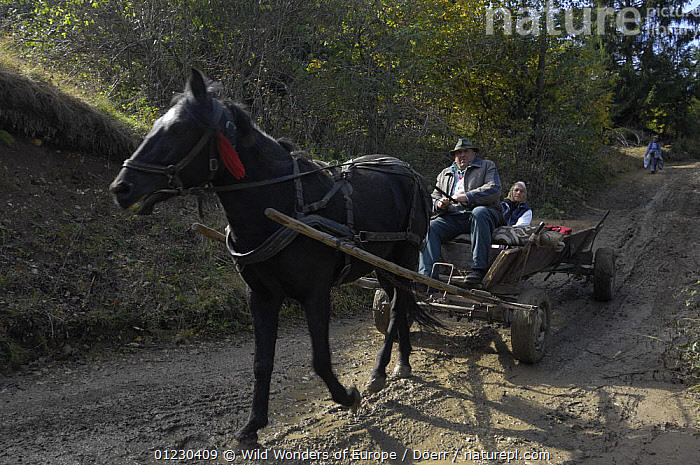 Farmer with traditional horse-drawn cart, Transylvania, Southern Carpathian Mountains, Romania, October 2008, CORNELIA DOERR,EASTERN EUROPE,EUROPE,HORSES,NP,PEOPLE,PERISSODACTYLA,ROADS,TRADITIONAL,VEHICLES,WORKING,WWE,National Park, Wild Wonders of Europe / Döerr