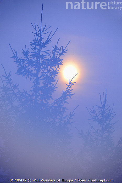 Spruce with full moon shining through fog, Piatra Craiului National Park, Transylvania, Southern Carpathian Mountains, Romania, October 2008, ATMOSPHERIC,CONIFERS,CORNELIA DOERR,EASTERN EUROPE,GYMNOSPERMS,MIST,MOON,NP,PINACEAE,PINES,PLANTS,RESERVE,SILHOUETTES,VERTICAL,WWE,National Park, Wild Wonders of Europe / Döerr