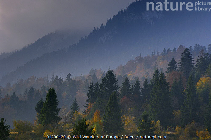 Forest at Rock of the King, Piatra Craiului National Park, Transylvania, Southern Carpathian Mountains, Romania, CLOUDS,CORNELIA DOERR,EASTERN EUROPE,EUROPE,FORESTS,LANDSCAPES,MIST,NP,RESERVE,TREES,WWE,Weather,National Park,PLANTS, Wild Wonders of Europe / Döerr