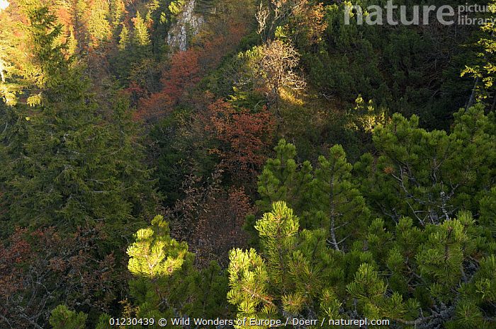 Looking down on forest canopy, Valea Crapaturii, Piatra Craiului National Park, Transylvania, Southern Carpathian Mountains, Romania, October 2008, CORNELIA DOERR,EASTERN EUROPE,EUROPE,FORESTS,HIGH ANGLE SHOT,NP,RESERVE,TREES,WWE,National Park,PLANTS, Wild Wonders of Europe / Döerr