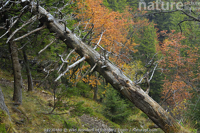 Dead spruce tree in Valea Crapaturii, Piatra Craiului National Park, Transylvania, Southern Carpathian Mountains, Romania, October 2008, CONIFERS,CORNELIA DOERR,EASTERN EUROPE,EUROPE,FORESTS,GYMNOSPERMS,NP,PINACEAE,PINES,PLANTS,RESERVE,ROMANIA,TREES,TRUNKS,WOODLANDS,WWE,National Park, Wild Wonders of Europe / Döerr