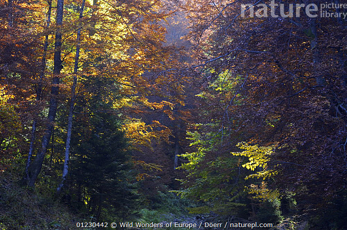 Deciduous forest in autumn, Piatra Craiului National Park, Transylvania, Southern Carpathian Mountains, Romania, October 2008, CORNELIA DOERR,EASTERN EUROPE,EUROPE,FORESTS,LANDSCAPES,NP,RESERVES,TREES,WOODLANDS,WWE,National Park,PLANTS, Wild Wonders of Europe / Döerr