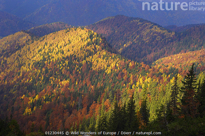 Forest covered hills, Piatra Craiului National Park, Transylvania, Southern Carpathian Mountains, Romania, October 2008, AUTUMN,BROADLEAF,COLOURFUL,CORNELIA DOERR,EASTERN EUROPE,EUROPE,FORESTS,LANDSCAPES,NP,RESERVE,TREES,WOODLANDS,WWE,National Park,PLANTS, Wild Wonders of Europe / Döerr