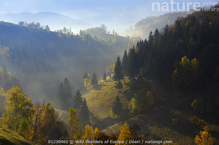 Hilly landscape in the morning light, Magura, Piatra Craiului National Park, Transylvania, Southern Carpathian Mountains, Romania, October 2008, CORNELIA DOERR,COUNTRYSIDE,DAWN,EASTERN EUROPE,EUROPE,LANDSCAPES,MIST,NP,RESERVE,TREES,WWE,National Park,PLANTS, Wild Wonders of Europe / Döerr