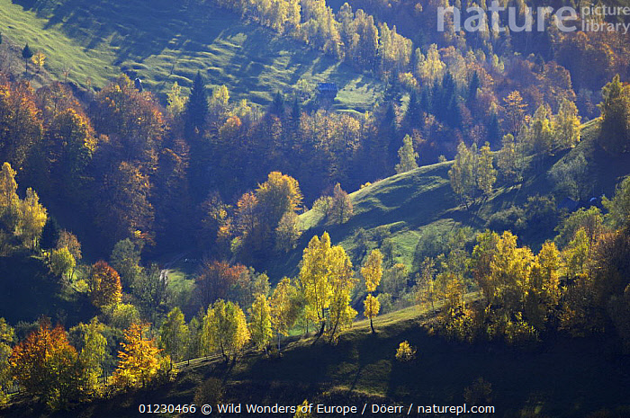 Rural landscape in autumn, Piatra Craiului National Park, Transylvania, Southern Carpathian Mountains, Romania, October 2008, AUTUMN,CORNELIA DOERR,COUNTRYSIDE,EASTERN EUROPE,EUROPE,LANDSCAPES,NP,RESERVE,SHADOWS,TREES,WWE,National Park,PLANTS, Wild Wonders of Europe / Döerr