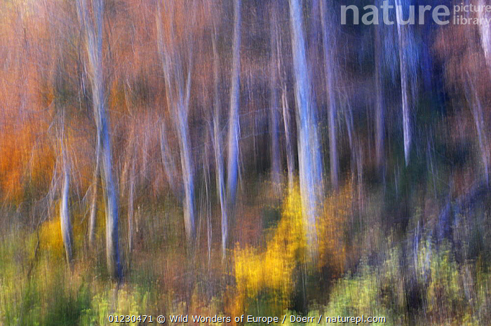 Beech (Fagus sp) forest in autumn, soft focus, Piatra Craiului National Park, Transylvania, Southern Carpathian Mountains, Romania, October 2008, BLURRED,CORNELIA DOERR,DICOTYLEDONS,EASTERN EUROPE,EUROPE,FAGACEAE,NP,PLANTS,ROMANIA,TREES,TRUNKS,WWE,National Park, Wild Wonders of Europe / Döerr