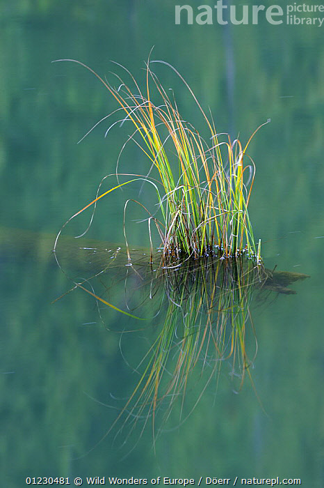 Grasses growing on a submerged tree stump in Red Lake, Cheile Bicazului-Hasmas National Park, Carpathian Mountains, Transsylvania, Romania, October 2008, ARTY SHOTS,CORNELIA DOERR,EASTERN EUROPE,EUROPE,GRASSES,NP,REFLECTIONS,RESERVE,VERTICAL,WATER,WWE,National Park, Wild Wonders of Europe / Döerr