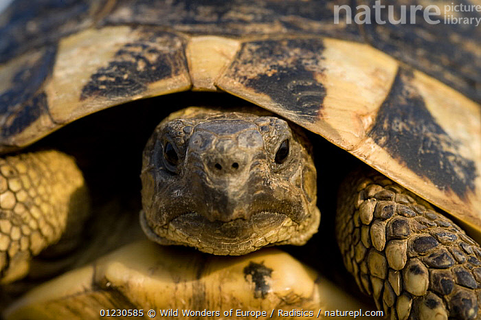 Hermann's tortoise (Testudo hermanni) portrait, near Meteora, Greece, October 2008, CHELONIA,EUROPE,GREECE,HEADS,MILAN RADISICS,PORTRAITS,REPTILES,SHELLS,TORTOISES,VERTEBRATES,WWE, Wild Wonders of Europe / Radisics