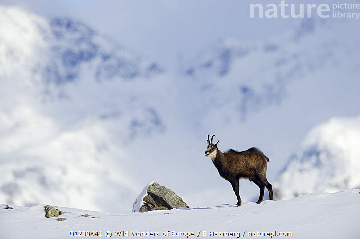 Chamois (Rupicapra rupicapra) male calling during rut, Gran Paradiso National Park, Italy, November 2008  ,  ALPS,ARTIODACTYLA,BOVIDS,CALLING,ERLEND HAARBERG,EUROPE,GOATS,ITALY,MALES,MAMMALS,MATING BEHAVIOUR,NP,RESERVE,SNOW,VERTEBRATES,VOCALISATION,WWE,Reproduction,National Park  ,  Wild Wonders of Europe / E Haarberg