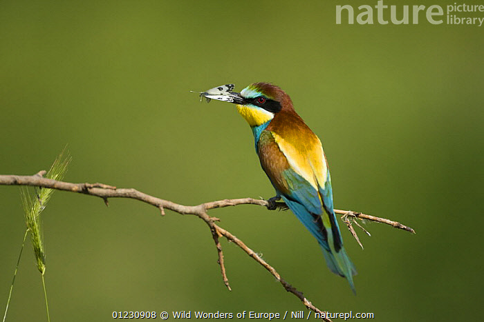 European bee-eater (Merops apiaster) with butterfly prey in his beak, Bulgaria, May 2008, BEE EATERS,BIRDS,BULGARIA,DIETMAR NILL,EASTERN EUROPE,FEEDING,INSECTS,LEPIDOPTERA,PREDATION,VERTEBRATES,VERTICAL,WWE,Invertebrates,Behaviour, Wild Wonders of Europe / Nill