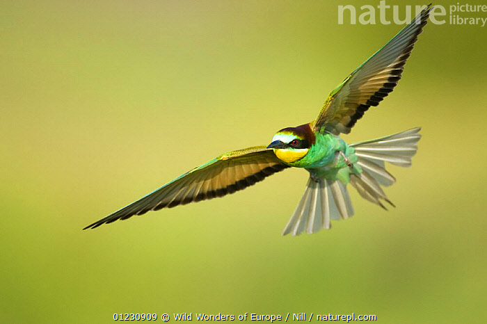 European bee-eater (Merops apiaster) in flight, Bulgaria, May 2008 UNAVAILABLE FOR COMMERCIAL USE WITHOUT PRIOR CONSENT, BEE EATERS,BIRDS,BULGARIA,DIETMAR NILL,EASTERN EUROPE,FEATHERS,FLYING,VERTEBRATES,WWE, Wild Wonders of Europe / Nill