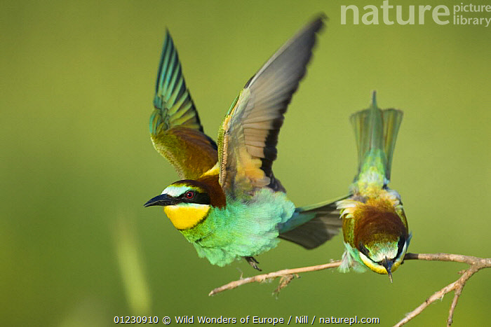 European bee-eater (Merops apiaster) pair in courtship display, Bulgaria, May 2008, BEE EATERS,BIRDS,BULGARIA,COURTSHIP,DIETMAR NILL,EASTERN EUROPE,FLYING,MALE FEMALE PAIR,MATING BEHAVIOUR,TWO,VERTEBRATES,WWE,Reproduction, Wild Wonders of Europe / Nill