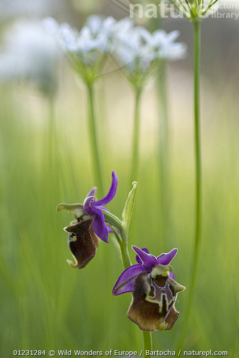 Orchid (Ophrys apulica) flowers, Vieste, Gargano National Park, Gargano Peninsula, Apulia, Italy, April 2008  ,  EUROPE,FLOWERS,ITALY,MONOCOTYLEDONS,ORCHIDACEAE,ORCHIDS,PLANTS,PURPLE,RESERVE,SANDRA BARTOCHA,VERTICAL,WWE  ,  Wild Wonders of Europe/ Bartocha