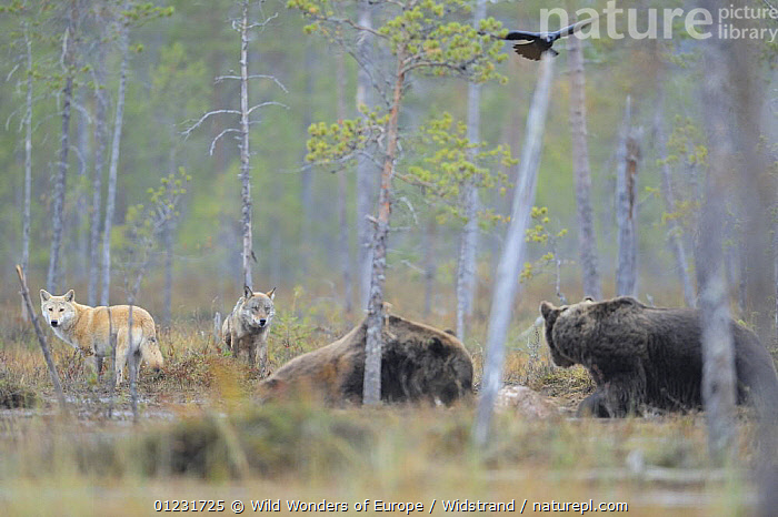 Two European Grey wolves (Canis lupus), two Eurasian brown bears (Ursus arctos) and a Common raven (Corvus corax) flying overhead, at carcass site, Kuhmo, Finland, September 2008  ,  BEARS,BEHAVIOUR,BIRDS,CANIDS,CARNIVORES,CORVIDS,CROWS,EUROPE,FINLAND,FLYING,GROUPS,MAMMALS,MIXED SPECIES,RAVENS,SCANDINAVIA,STAFFAN WIDSTRAND,TAIGA,TREES,VERTEBRATES,WOLVES,WWE, Europe,PLANTS  ,  Wild Wonders of Europe / Widstrand
