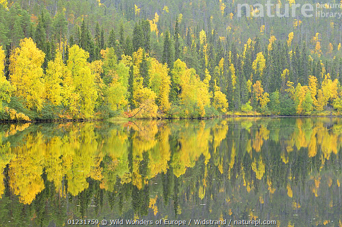 Oulanka River, Finland, September 2008. Woodland predominantly Spruce (Picea abies) and Silver Birch (Betula verrucosa)  ,  AUTUMN,EUROPE,FINLAND,FORESTS,LANDSCAPES,REFLECTIONS,RIVERS,SCANDINAVIA,STAFFAN WIDSTRAND,TAIGA,TREES,WWE, Europe,PLANTS  ,  Wild Wonders of Europe / Widstrand