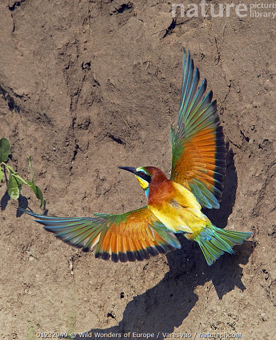 European Bee-eater (Merops apiaster) flying to nest hole in bank, Pusztaszer, Hungary, May 2008, BEE EATERS,BEHAVIOUR,BIRDS,COLOURFUL,EASTERN EUROPE,FLYING,HUNGARY,MARKUS VARESVUO,VERTEBRATES,VERTICAL,WINGS,WWE,Europe, Wild Wonders of Europe / Varesvuo