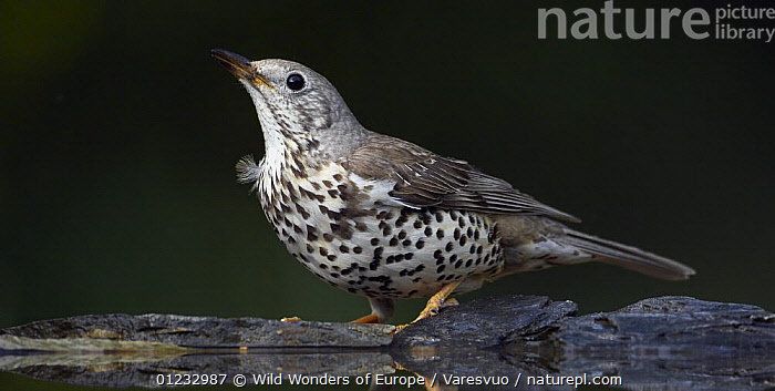 Mistle Thrush (Turdus viscivorus) at water, Pusztaszer, Hungary, May 2008  ,  BIRDS,EASTERN EUROPE,HUNGARY,MARKUS VARESVUO,THRUSHES,VERTEBRATES,WATER,WWE,Europe  ,  Wild Wonders of Europe / Varesvuo