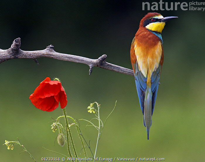 European Bee-eater (Merops apiaster) perched beside Poppy flower, Pusztaszer, Hungary, May 2008, BEE EATERS,BIRDS,COLOURFUL,EASTERN EUROPE,FLOWERS,MARKUS VARESVUO,RED,VERTEBRATES,VERTICAL,WWE,Europe, Wild Wonders of Europe / Varesvuo