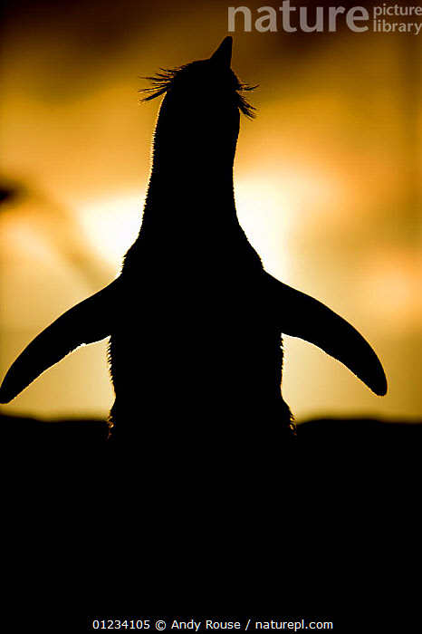 Silhouette of Rockhopper penguin (Eudyptes chrysocome) stretching at sunset, Falkland Islands  ,  BIRDS, COASTS, Falklands, FLIGHTLESS, PENGUINS, SILHOUETTES, VERTEBRATES, VERTICAL  ,  Andy Rouse