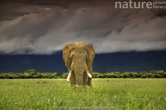 African elephant (Loxodonta africana) on plains under stormy sky, Marakele National Park, Waterberg Biosphere, South Africa, AFRICA,ELEPHANTS,LANDSCAPES,MALES,MAMMALS,NP,PROBOSCIDS,RESERVE,SOUTHERN AFRICA,VERTEBRATES,VERTICAL,National Park,Catalogue1, Andy Rouse