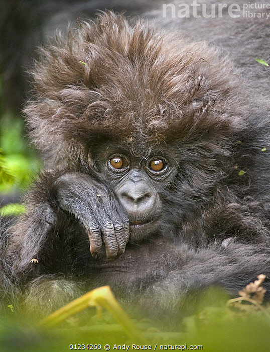 Mountain gorilla (Gorilla beringei beringei) baby with hairy head, Volcanoes NP, Virunga mountains, Rwanda, AFRICA,CENTRAL AFRICA,CUTE,ENDANGERED,EXPRESSIONS,GREAT APES,HAIRY,HUMOROUS,MAMMALS,NP,PARC NATIONAL DES VOLCANS,PRIMATES,RESERVE,TROPICAL RAINFOREST,VERTEBRATES,VERTICAL,Concepts,National Park, Andy Rouse