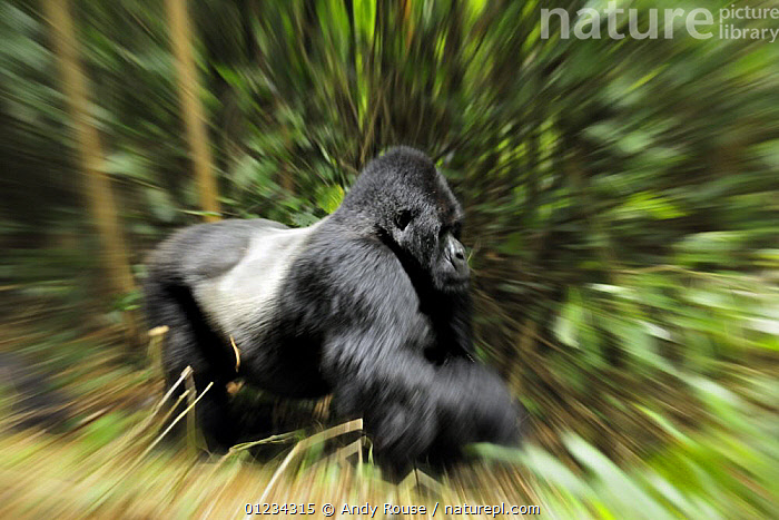 Mountain gorilla (Gorilla beringei beringei) silverback moving through habitat, Volcanoes NP, Virunga mountains, Rwanda, ABSTRACT,ACTION,AFRICA,BLURRED,CENTRAL AFRICA,ENDANGERED,GORILLAS,GREAT APES,HABITAT,MALES,MAMMALS,MOVEMENT,NP,PARC NATIONAL DES VOLCANS,PRIMATES,RESERVE,TROPICAL RAINFOREST,VERTEBRATES,NATIONAL PARK, Andy Rouse