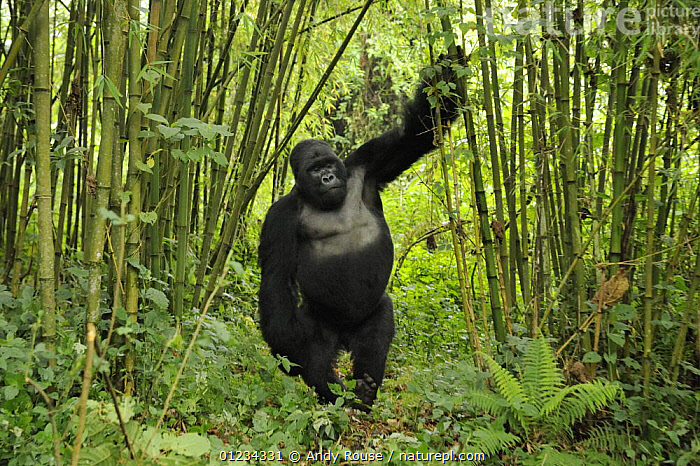 Mountain gorilla (Gorilla beringei beringei) silverback male playing in habitat, drunk on bamboo shoots, Volcanoes NP, Virunga mountains, Rwanda  Note - if gorillas eat an excess of bamboo shoots they can become intoxicated, AFRICA,BEHAVIOUR,CENTRAL AFRICA,ENDANGERED,GORILLAS,GREAT APES,INTERESTING,MALES,MAMMALS,NP,PARC NATIONAL DES VOLCANS,PRIMATES,RESERVE,RWANDA,STANDING,TROPICAL RAINFOREST,VERTEBRATES,VERTICAL,WALKING,NATIONAL PARK, Andy Rouse