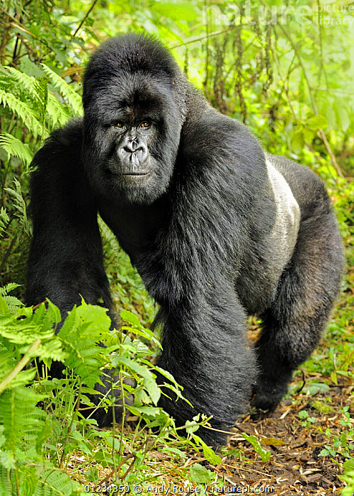 Mountain gorilla (Gorilla beringei beringei) silverback portrait, Volcanoes NP, Virunga mountains, Rwanda, AFRICA,CENTRAL AFRICA,ENDANGERED,GORILLAS,GREAT APES,MALES,MAMMALS,NP,PARC NATIONAL DES VOLCANS,PORTRAITS,PRIMATES,RESERVE,RWANDA,TROPICAL RAINFOREST,VERTEBRATES,VERTICAL,NATIONAL PARK, Andy Rouse