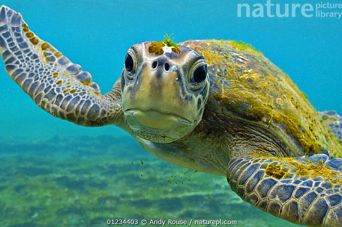Galapagos green turtle (Chelonia mydas agassisi) underwater portrait, being inquisitive, note algae growing on head and shell  ,  ENDANGERED,EXPRESSIONS,GALAPAGOS,MARINE,PORTRAITS,REPTILES,SEA TURTLES,TROPICAL,UNDERWATER,VERTEBRATES,SOUTH-AMERICA,Chelonia, Turtles, Turtles, Turtles,Catalogue1  ,  Andy Rouse