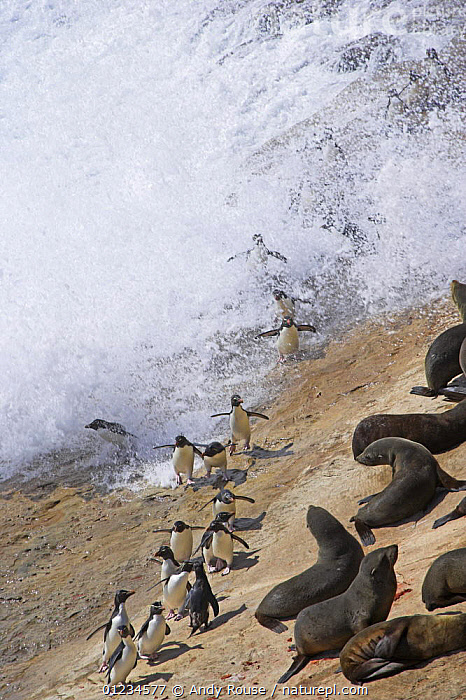 Aerial view of Rockhopper penguins (Eudyptes chrysocome chrsocome) landing from sea and walking through colony of South american fur seals (Arctocephalus australis) Falkland Islands  (non-ex)  ,  BEHAVIOUR, BIRDS, COASTS, Falklands, FLIGHTLESS, FLOCKS, GROUPS, HIGH-ANGLE-SHOT, MAMMALS, MIXED-SPECIES, PENGUINS, PINNIPEDS, sea, Seal, splash, VERTEBRATES, VERTICAL, WAVES,CARNIVORES  ,  Andy Rouse