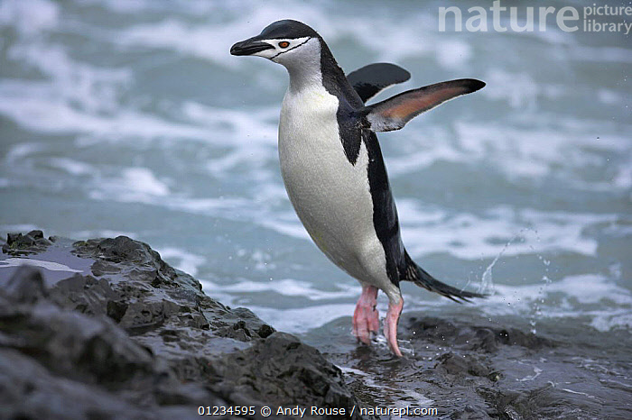 Chinstrap penguin (Pygoscelis antarcticus) jumping out of water, Antarctic Peninsula  (non-ex)  ,  ANTARCTICA,BEHAVIOUR,BIRDS,CHINSTRAP,COASTS,FLIGHTLESS,LANDING,PENGUIN,PENGUINS,VERTEBRATES,Seabirds  ,  Andy Rouse