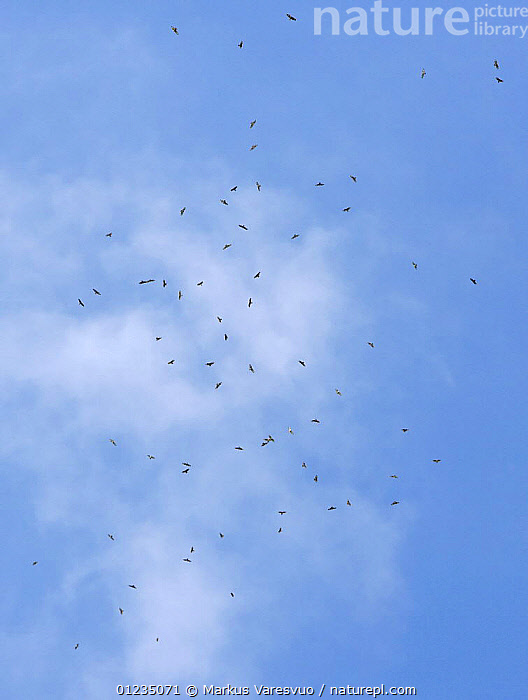 Flock of Honey buzzard (Pernis apivorus) in flight on migration, Tarifa, Spain, September, BIRDS OF PREY,EUROPE,FLOCKS,FLYING,KITES,LOW ANGLE SHOT,MIGRATION,SPAIN,VERTEBRATES,VERTICAL,Hawks, Markus Varesvuo