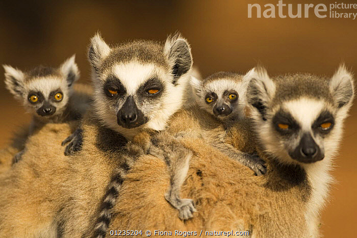 Ring-tailed Lemur (Lemur catta) females with babies less than one month riding on their backs, Berenty Private Reserve, Madagascar. Oct 2008., BABIES,CUTE,FACES,FAMILIES,GROUPS,LEMURS,MADAGASCAR,MAMMALS,MOTHER BABY,PORTRAITS,PRIMATES,RESERVE,VERTEBRATES, Fiona Rogers