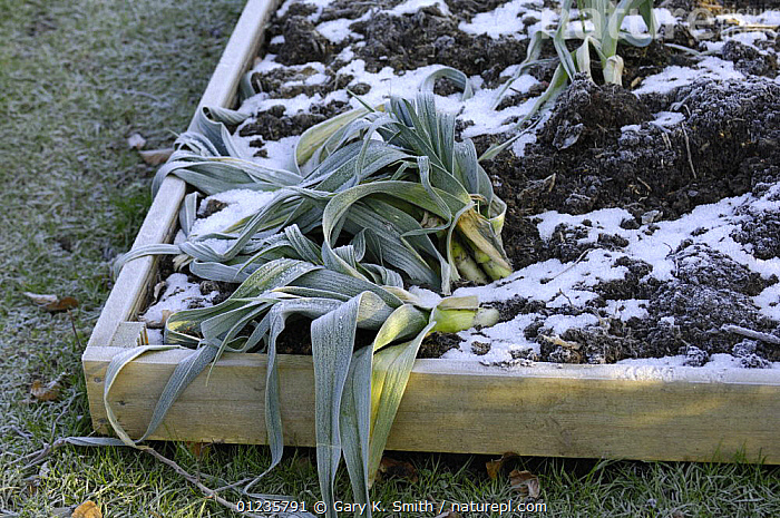 Home grown leeks (Allium ampeloprasum var. porrum), 'Musselburgh' heeled in soil in raised bed, January., AGRICULTURE, allotments, CROPS, EDIBLE, ENGLAND, EUROPE, FROST, frosts, gardening, GARDENS, LILIACEAE, MONOCOTYLEDONS, PLANTS, UK, VEGETABLES, WINTER,Weather,United Kingdom, Gary K. Smith