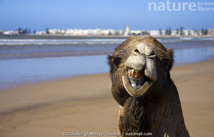 Nature Picture Library - Camel (Camelus dromedarius) on Essaouira