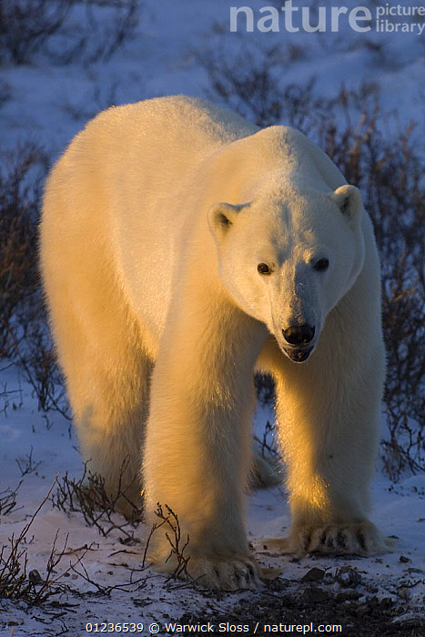 Polar bear {Ursus maritimus} at sunset Churchill, Manitoba, Canada., ARCTIC,BEARS,CARNIVORES,ENDANGERED,MAMMALS,PORTRAITS,VERTEBRATES,VERTICAL,CANADA,North America, Warwick Sloss