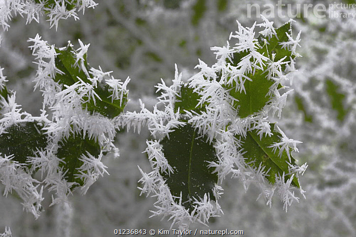 Freezing fog frost crystals on holly leaves, Surrey, England  ,  CRYSTALS,EUROPE,FROST,ICE,LEAVES,PATTERNS,PLANTS,UK,Weather, United Kingdom  ,  Kim Taylor