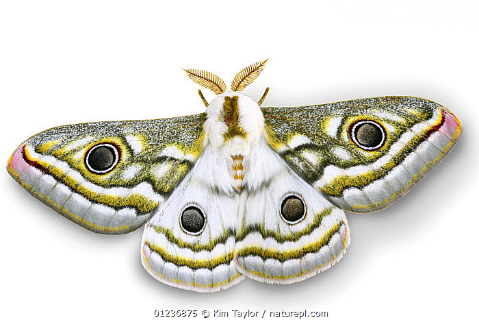 Emperor moth (Gonimbrasia species) digitally enhanced, Namibia  ,  CUTOUT,EYES,SOUTHERN AFRICA,LEPIDOPTERA,BUTTERFLIES,INSECTS,INVERTEBRATES,WINGS,Catalogue1  ,  Kim Taylor