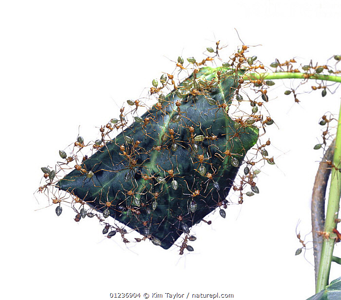Green tree ant (Oecophylla smaragdina) workers protecting nest inside folded leaf, North Australia  ,  ANTS,ARTHROPODS,AUSTRALIA,BEHAVIOUR,CUTOUT,DEFENSIVE,GROUPS,HYMENOPTERA,INSECTS,INVERTEBRATES,NESTS,SOCIAL BEHAVIOUR,Catalogue1  ,  Kim Taylor