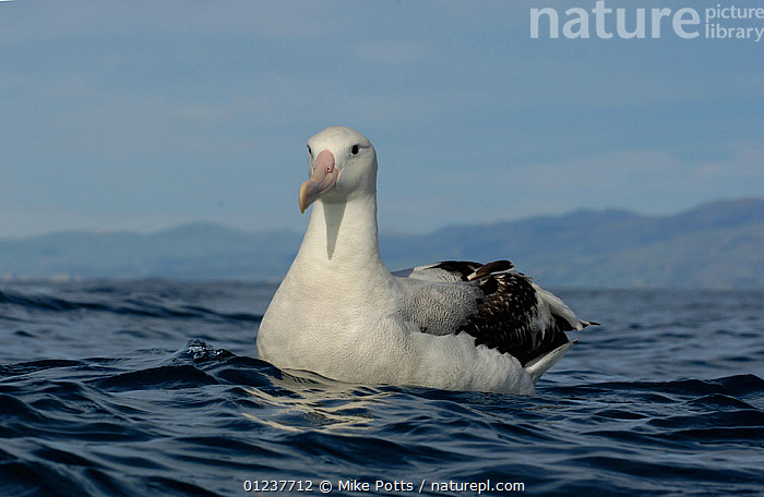 New Zealand albatross (Diomedea antipodensis) on water off Kaikoura coast, South Island, New Zealand., ALBATROSSES,AUSTRALASIA,BIRDS,LANDSCAPES,NEW ZEALAND,PACIFIC,PORTRAITS,SEABIRDS,SURFACE,TEMPERATE,VERTEBRATES, Mike Potts