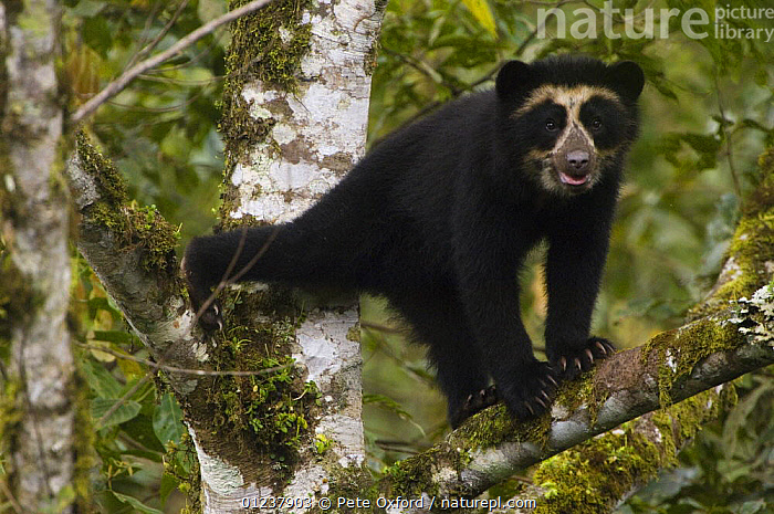 Spectacled / Andean Bear (Tremarctos ornatus) cub in tree, Maquipucuna Foundation Cloud Forest Reserve, Andes, Ecuador, South America  ,  BEARS,CARNIVORES,CLIMBING,CUBS,JUVENILE,MAMMALS,PRETTY,RESERVE,SOUTH AMERICA,TREES,VERTEBRATES,PLANTS  ,  Pete Oxford