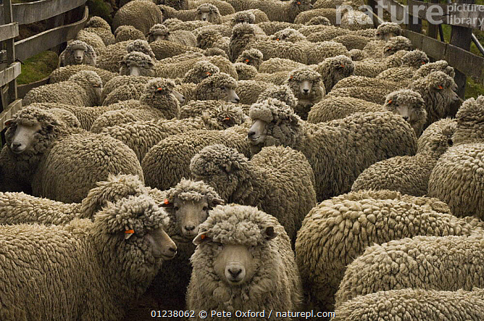 Nature Picture Library - Flock of sheep waiting to be