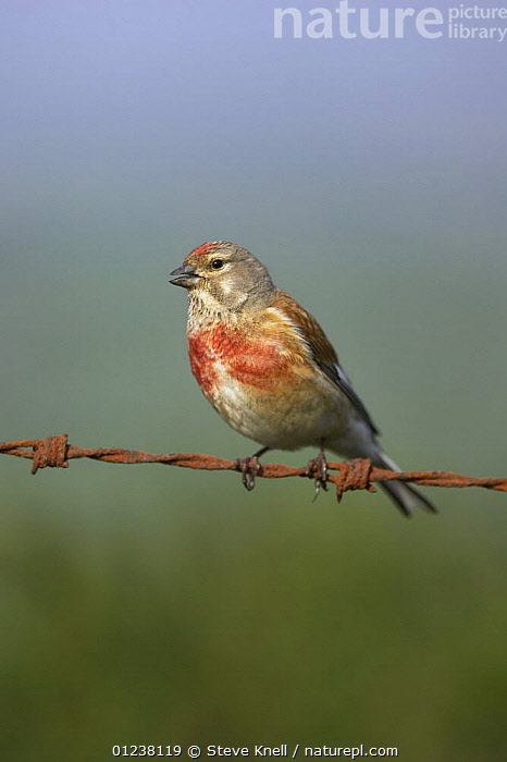 Linnet (Acanthis / Carduelis cannabina) male singing on rusty wire, West Yorkshire, England, May 2008  ,  BIRDS,CUTOUT,EUROPE,FINCHES,MALES,PORTRAITS,UK,VERTEBRATES,VERTICAL,VOCALISATION, United Kingdom  ,  Steve Knell