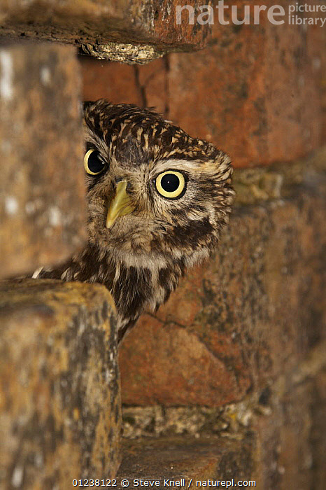 Little owl (Athene noctua) looking out of typical nest-hole in wall, captive, Gloucestershire, England, April  ,  BIRDS,BIRDS OF PREY,EUROPE,EYES,HEADS,OWLS,PORTRAITS,UK,VERTEBRATES,VERTICAL, United Kingdom  ,  Steve Knell