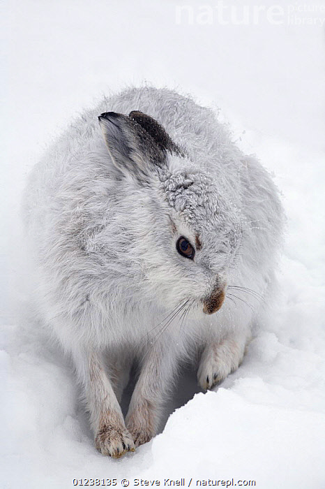 Mountain hare (Lepus timidus) in a snow-hole, Cairngorms National Park, Scotland, January  ,  EUROPE,HARES,LAGOMORPHS,MAMMALS,NP,PORTRAITS,RESERVE,SNOW,UK,VERTEBRATES,VERTICAL,National Park, United Kingdom  ,  STEVE KNELL