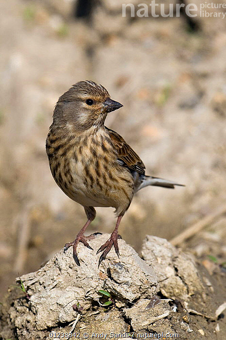Linnet (Acanthis cannabina) female perched on mud on farm track, Hertfordshire, England, UK.  ,  BIRDS,ENGLAND,EUROPE,FINCHES,UK,VERTEBRATES,VERTICAL, United Kingdom  ,  Andy Sands