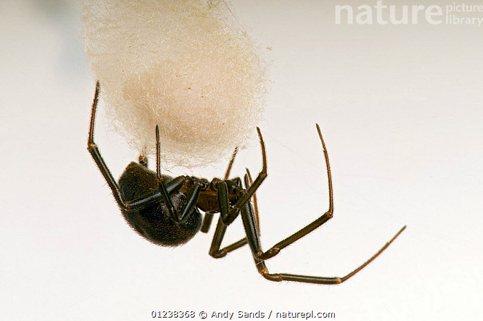 Nature Picture Library False Widow Cellar Spider