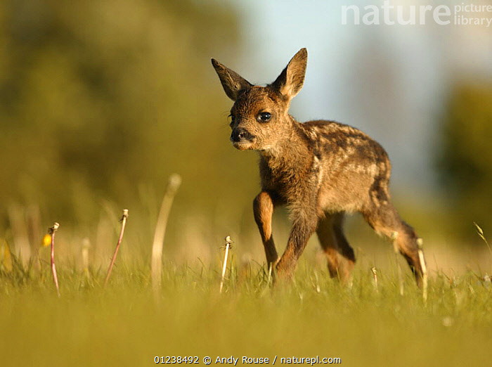 Roe deer (Capreolus capreolus) one week old fawn left in grass by mother, UK, ARTIODACTYLA,BABIES,CERVIDS,DEER,EUROPE,MAMMALS,PORTRAITS,UK,VERTEBRATES, United Kingdom, Andy Rouse