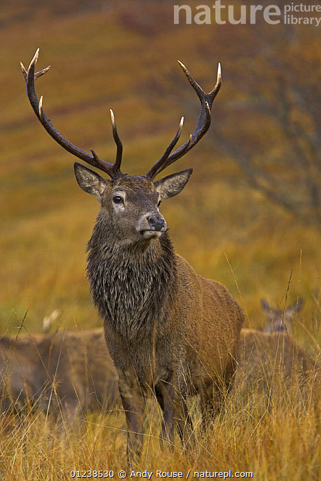 Red deer (Cervus elaphus) stag during annual rut with hinds, Scottish highlands, UK, ANTLERS,ARTIODACTYLA,CERVIDS,DEER,EUROPE,FEMALES,GROUPS,MALES,MAMMALS,PORTRAITS,UK,VERTEBRATES,VERTICAL, United Kingdom, Andy Rouse